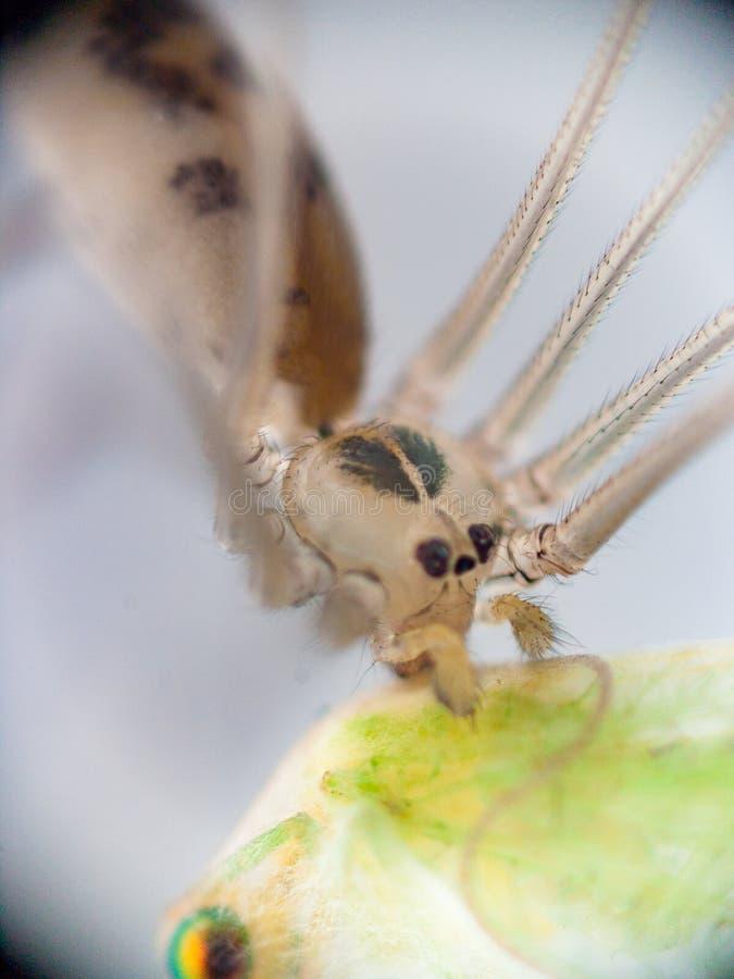 Den halva genomskinliga hungriga spindeln fångade offret och att äta royaltyfri bild