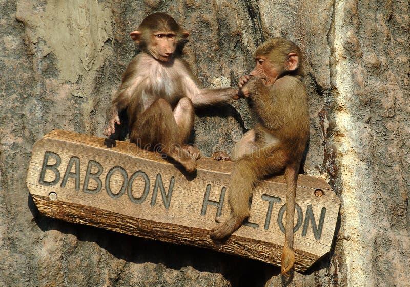 Den Hamadryas babianen behandla som ett barn på en zoo i Sverige royaltyfria bilder