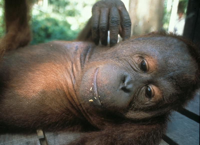 Den Handicaped orangutanget Utan behandla som ett barn på Sepilok royaltyfri foto