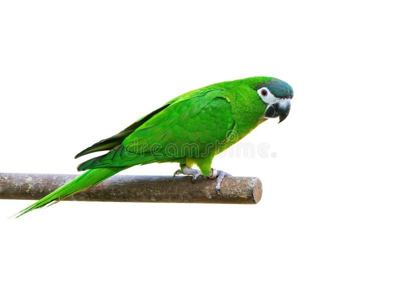 Den Hanh aran eller denknuffade aran, den härliga gröna fågeln isolerade att sätta sig på filialen royaltyfri fotografi