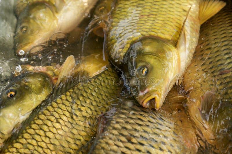 Den Head spegelkarpen och några mer fiskar tätt upp och att fiska, lantgården fotografering för bildbyråer