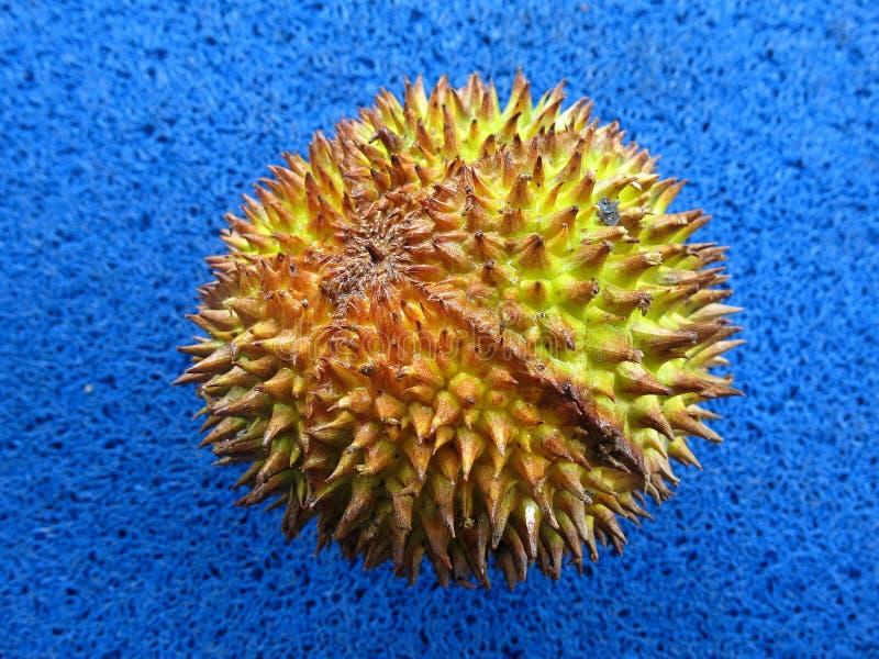 Den hela durianen Hårda och skarpa ryggar arkivbilder