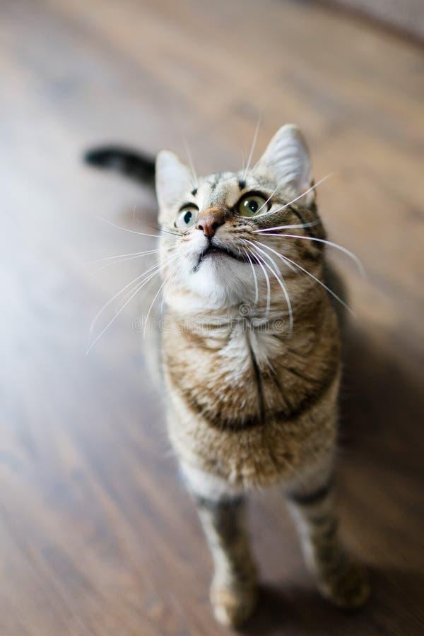 Den hem- katten som söker efter en mat, förväntar belöning som typisk husdjur arkivbild