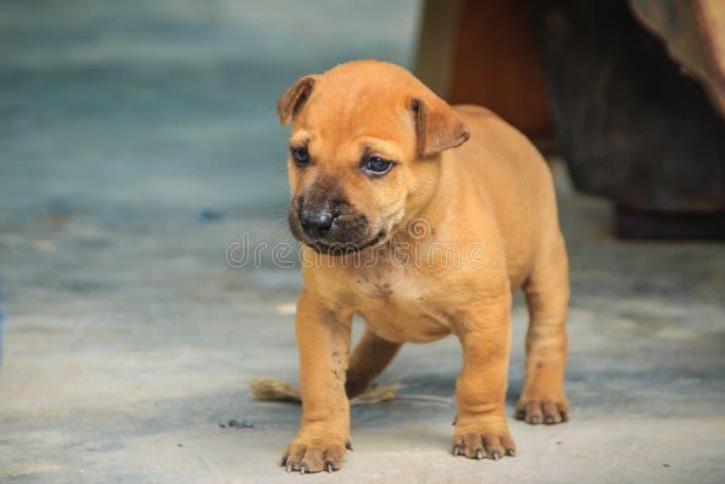 Den hemlösa gulliga bruna lilla hunden går i gata Gullig tillfällig valpbrunthund som bara bor royaltyfria foton