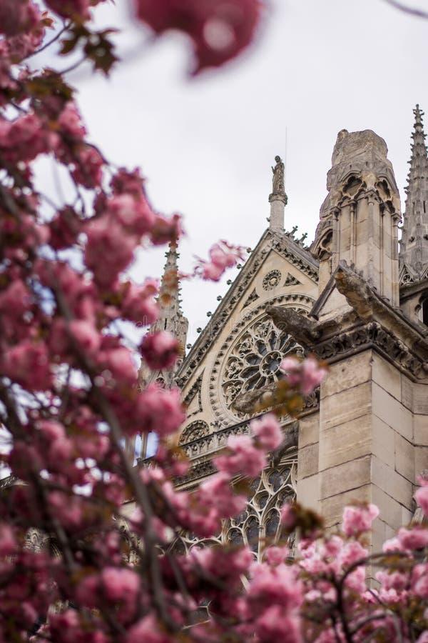 Den historiska fasaden av Notre Dame Cathedral i Paris i rosa träd arkivfoto