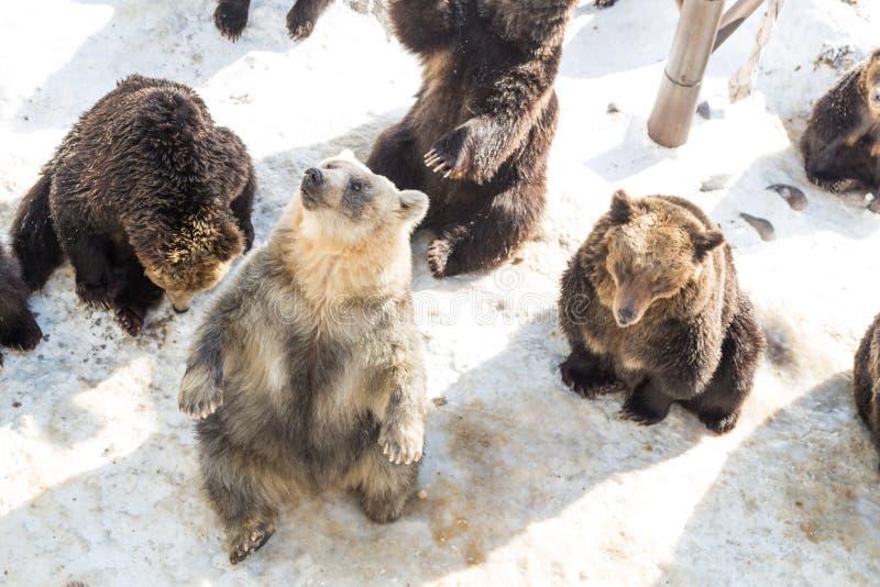 Den Hokkaido brunbjörnen på den Noboribetsu björnen parkerar under vintern Japan royaltyfri foto