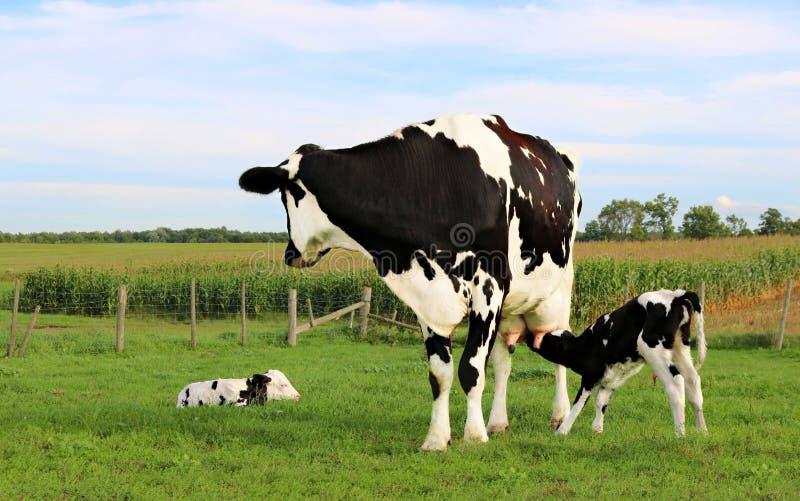 Den Holstein kon betar på med hennes nyfödda kalvar arkivfoto
