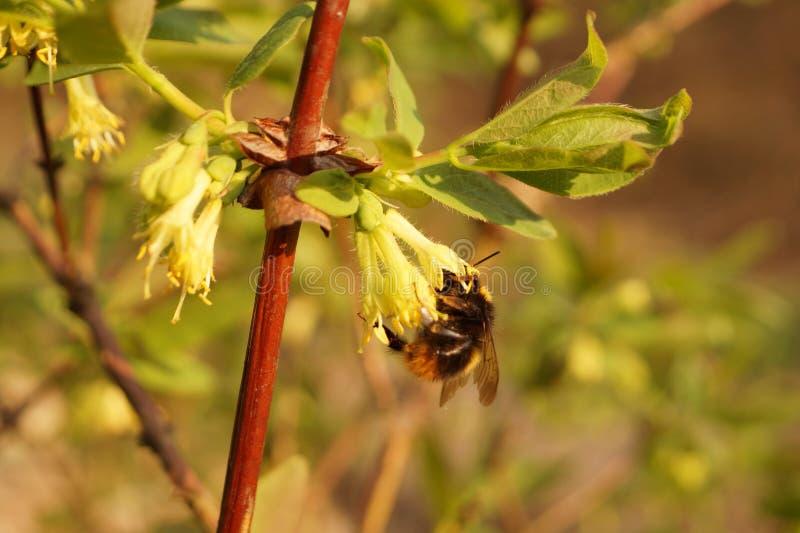 Den honeyberry loniceraen caerulea-under blomning Ett extremt viktigt ?gonblick pollination av blommor vid kryp, speciellt arkivbild