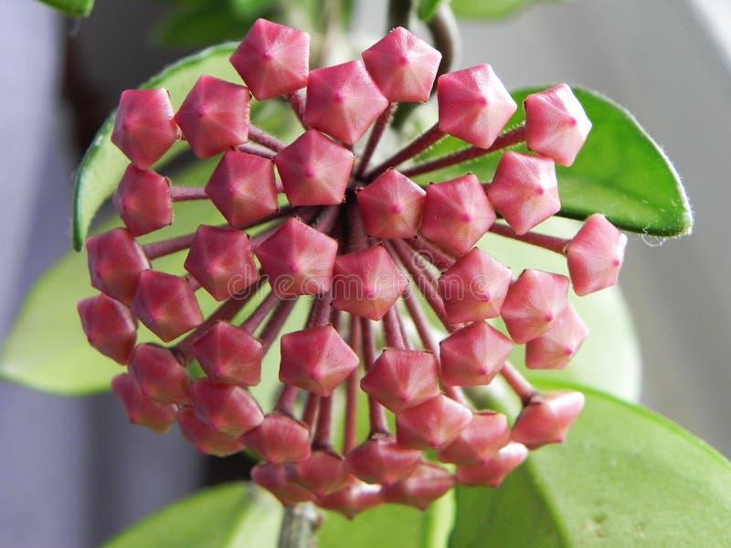 Den Hoya v?xten blomstrade dess blommor H?rliga v?xter och ljusa blommor Detaljer och n?rbild arkivbilder