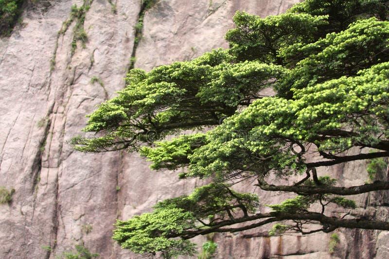 den huangshan monteringen sörjer treen fotografering för bildbyråer