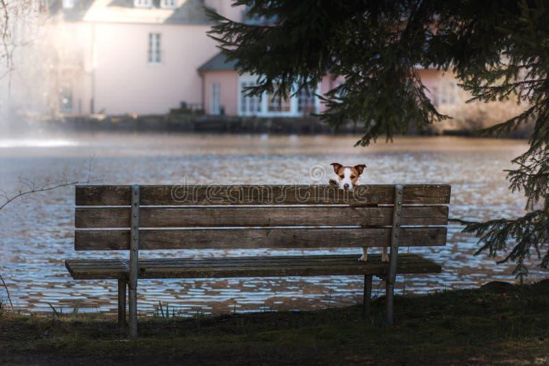 Den hundstålarrussell terriern sitter på en bänk, utanför arkivfoto