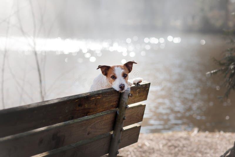 Den hundstålarrussell terriern sitter på en bänk, utanför arkivfoton