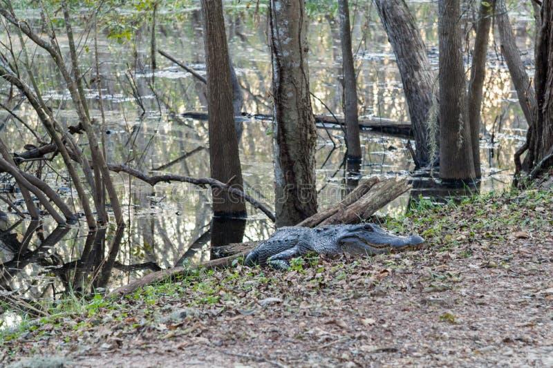 Den hungriga alligatorn väntar på våghalsiga turister i Brazos krökningdelstatspark nära Houston, Texas arkivbilder