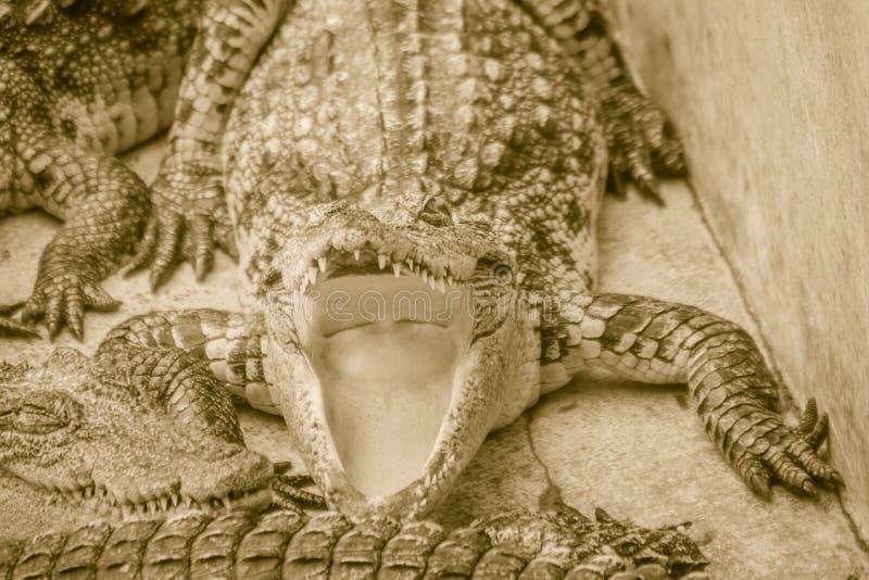 Den hungriga krokodilen är den öppna munnen och väntande på mat i aveln arkivbilder