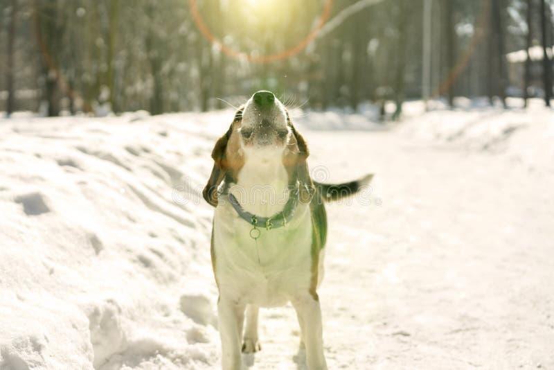 Den iklädda lilla hunden ett lag går i vinterträna tonad bild hunden skäller i vinterskogen arkivbilder