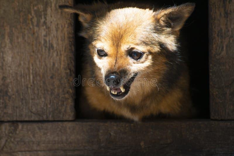 Den ilskna hunden av byrackan, grinar hans tänder i båset arkivbild