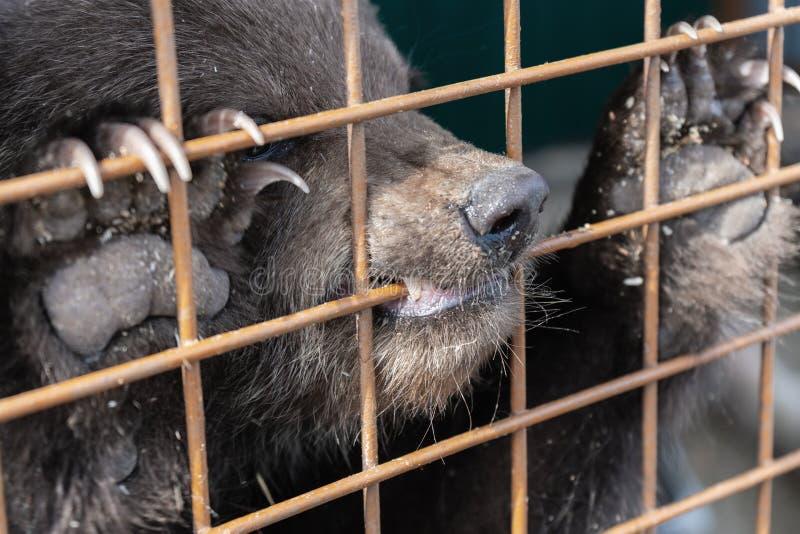 Den ilskna Kamchatka brunbjörnen gnag ett aviariumgaller i en zoo arkivfoton