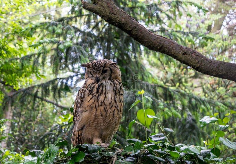 Den indiska Eagle-ugglan, kallade också vaggar Eagle-uggla eller den Bengal Eagle-ugglan Bubobengalensis royaltyfri foto