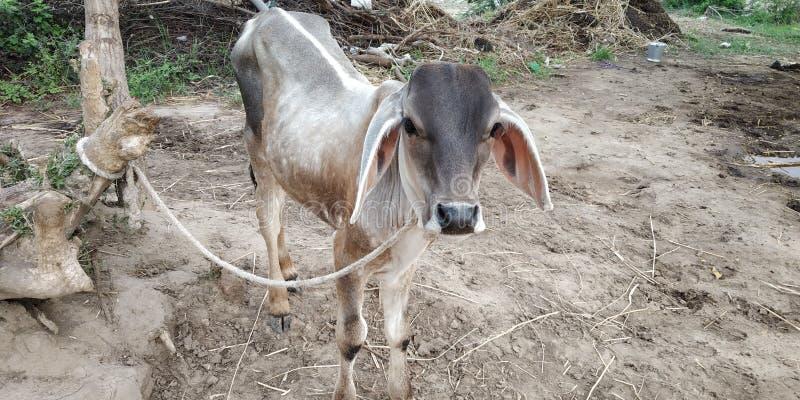 Den indiska kon behandla som ett barn arkivbilder