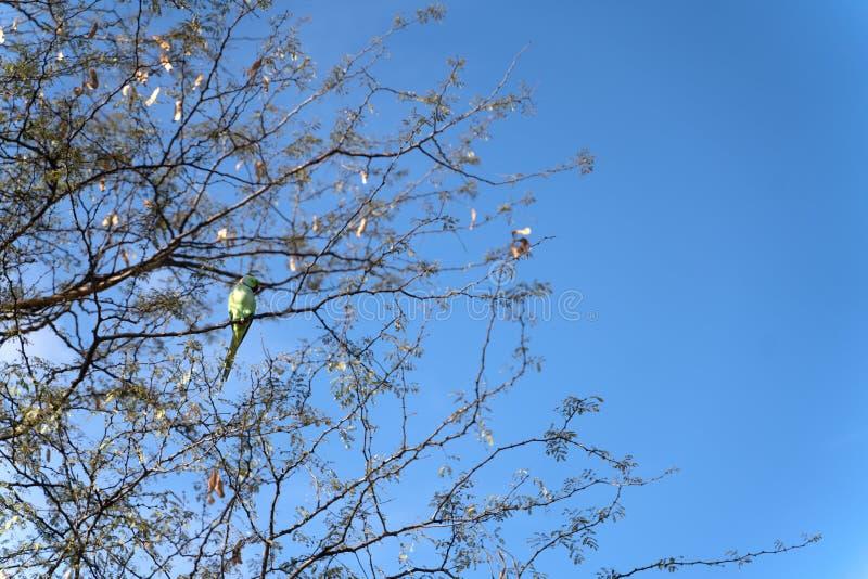 Den indiska lösa papegojan som sitter på trädet arkivfoton