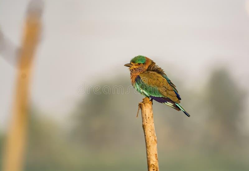 Den indiska rullen - tillståndsfågel av Karnataka, Indien arkivfoto