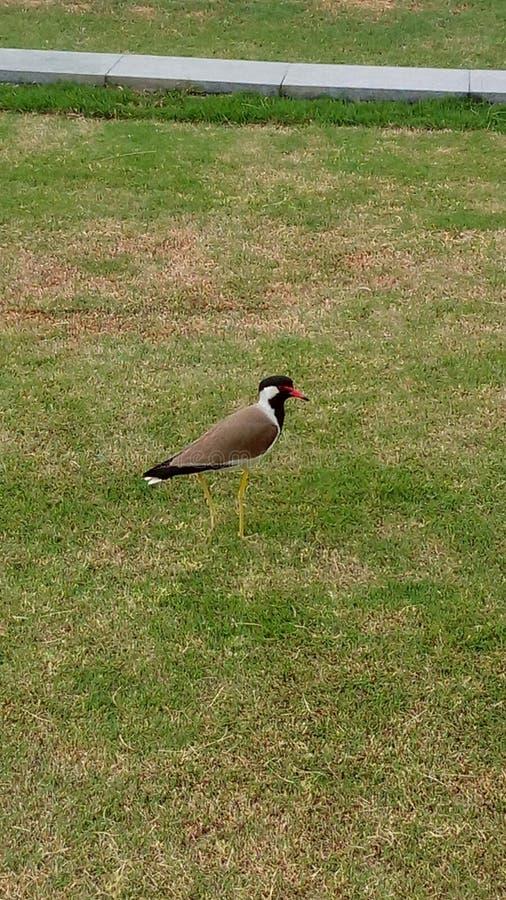 Den indiska svarta fågeln royaltyfri foto