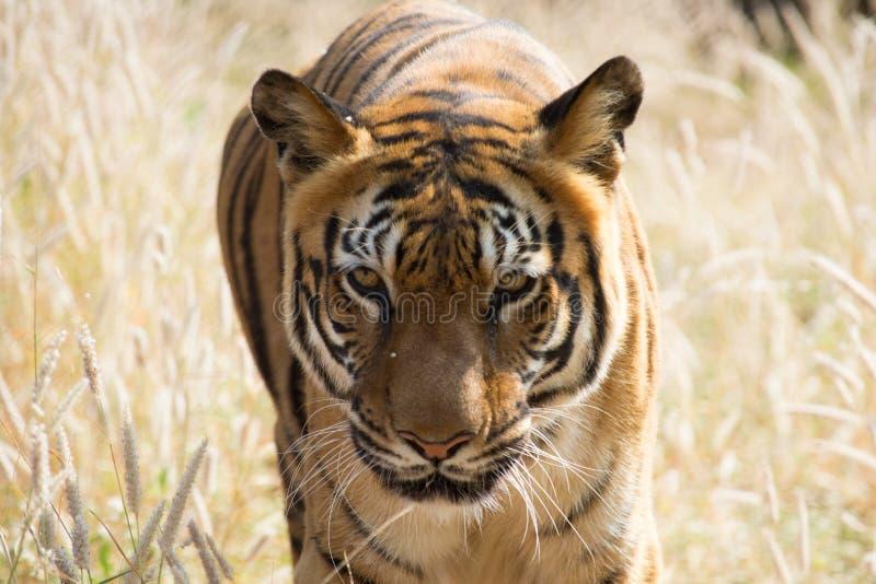 Den INDISKA tigern royaltyfri foto