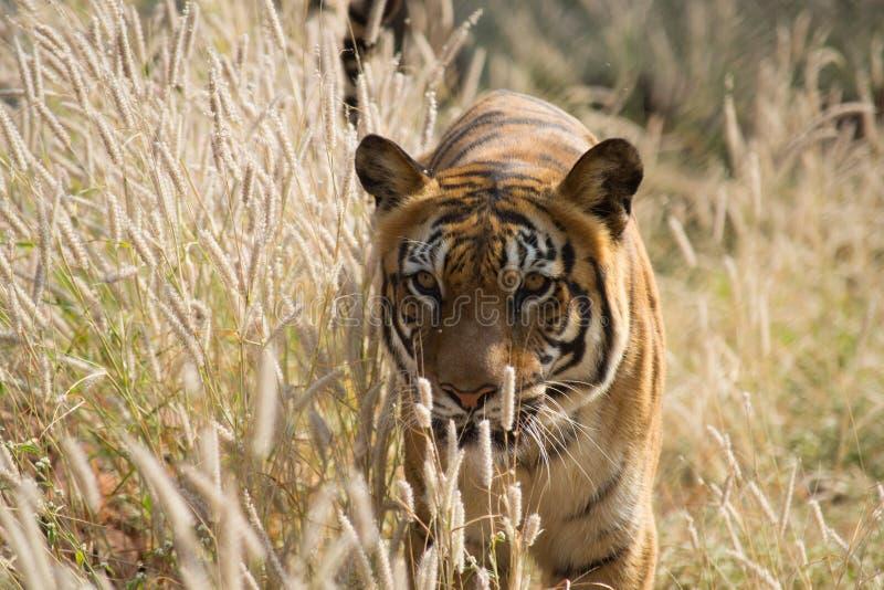 Den INDISKA tigern royaltyfri fotografi