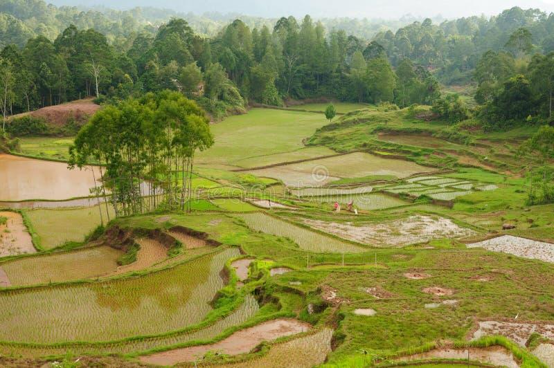 den indonesia ricesulawesi tanaen terrasserar toraja royaltyfri fotografi