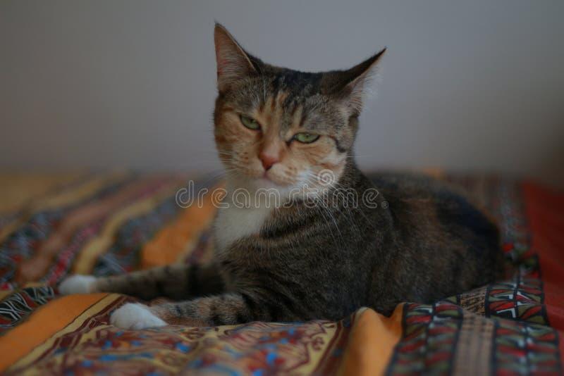 Den inhemska katten 'Mouska 'av vilar på den tiden arkivfoton