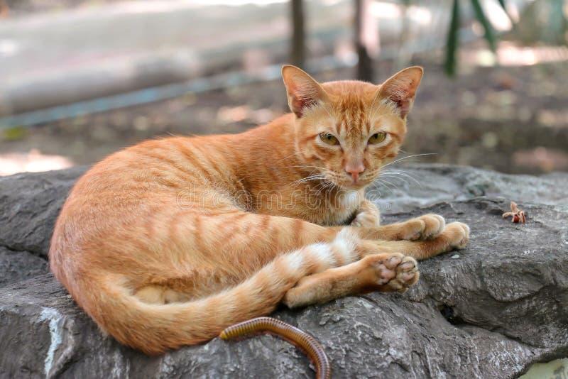 Den inhemska orange katten är utomhus sömnig med tusenfotingen arkivbild