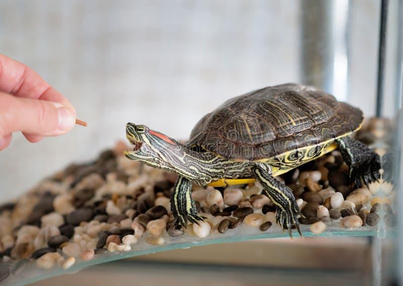 Den inhemska sköldpaddan äter och att mata husdjur royaltyfri foto