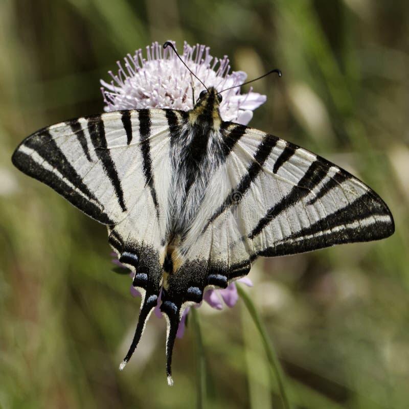 Den Iphiclides podaliriusen, knapp swallowtail, seglar swallowtail, Pear-tree swallowtail royaltyfri foto