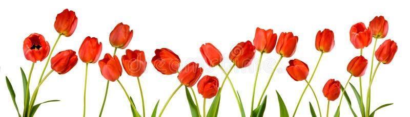 Den isolerade bilden av tulpan blommar på ett vitt bakgrundsslut upp arkivbild