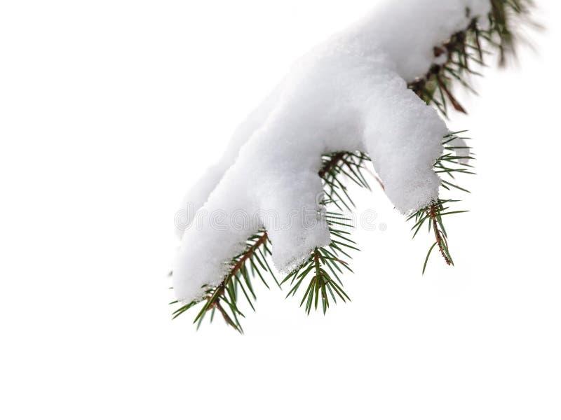 Den isolerade evergreen sörjer treefilialen med snow arkivfoto