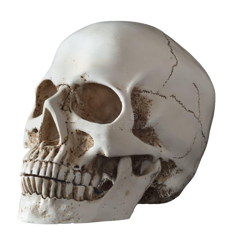 Den isolerade mänskliga skallen 3 fjärdedelar poserar royaltyfria foton
