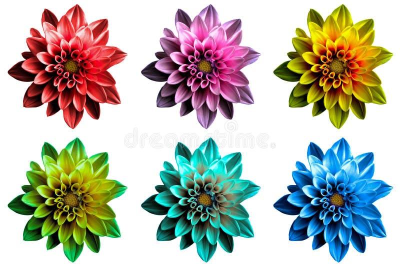 Den isolerade packen av kulör overklig mörk kromdahila blommar makro royaltyfria bilder