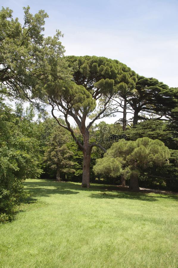 Den italienska stenen sörjer Pinus Pinea royaltyfri foto