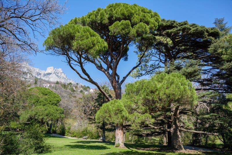Den italienska stenen sörjer Pinus Pinea framme av Ai-Petri bergbakgrund, Krim arkivbild