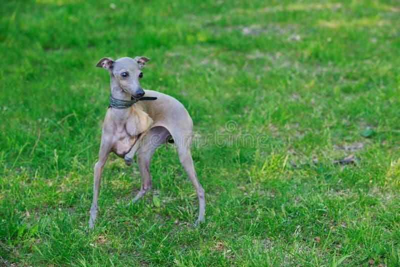 Den italienska vinthunden för hundavel arkivfoto