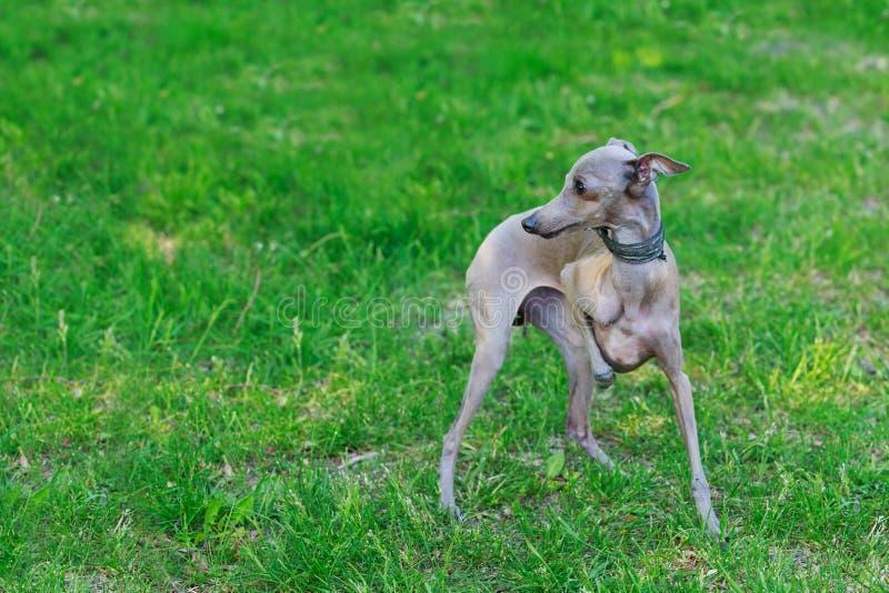 Den italienska vinthunden för hundavel arkivbilder
