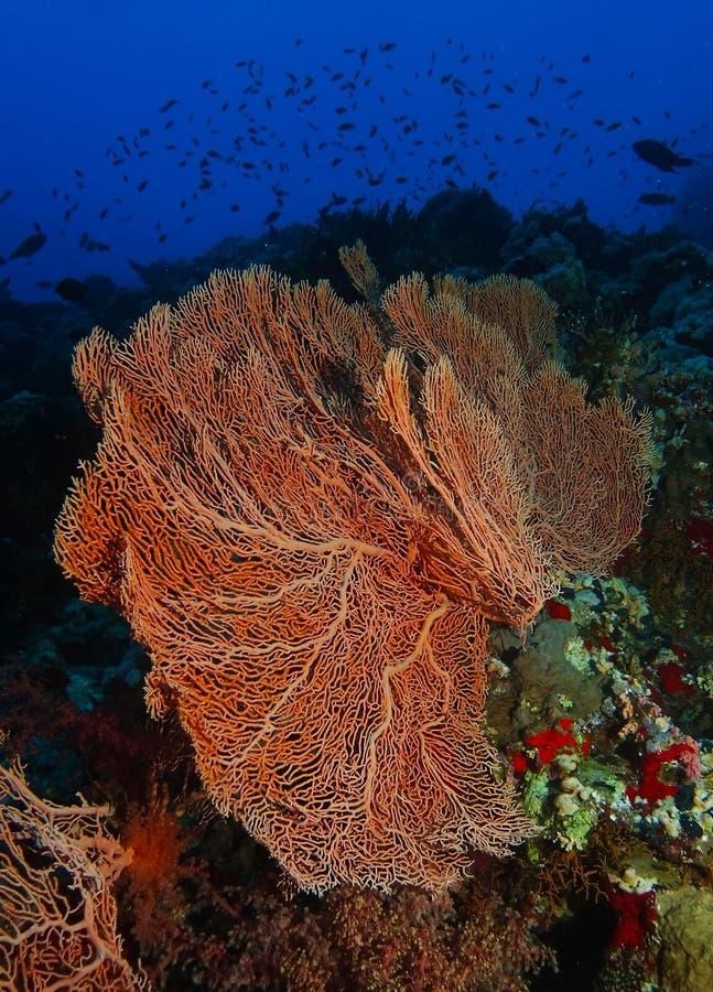 Den jätte- gorgoniaen inom korallträdgården i hajar revar fotografering för bildbyråer