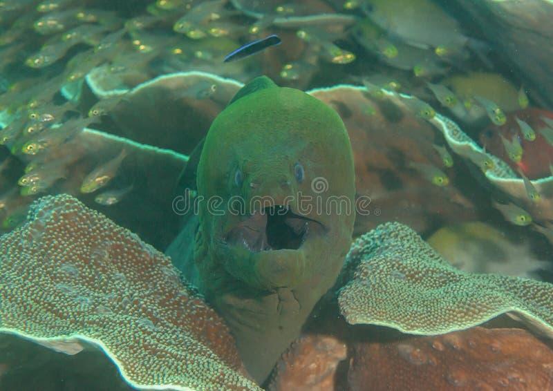 Den jätte- Gymnothorax för morayålen javanicusen öppnar munnen för att göra ren, Bali, Indonesien arkivbild