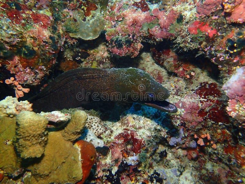 Den jätte- Morayålen under en fritiddyk i barracudapunkt, Sipadan ö, Semporna Tawau Sabah Malaysia Borneo royaltyfri bild