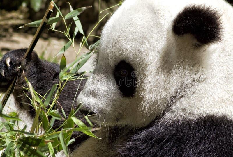 Jätte- Pandabjörn på den San Diego zooen royaltyfri bild