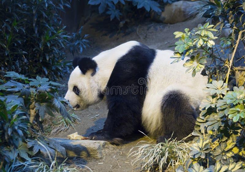 Den jätte- pandan den vita pandan royaltyfria bilder
