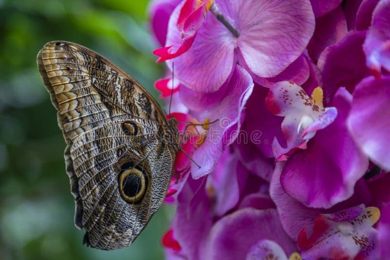 Den jätteCaligo Eurilochus Blume fjärilen som vilar på plast-, fejkar orkidéblomman arkivbild