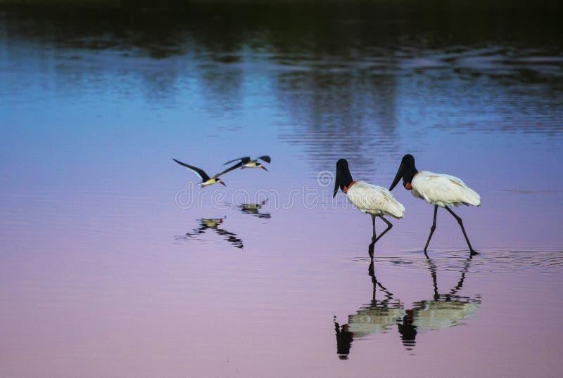 Den Jabiru storkpar och skumsleven kopplar ihop på sjön arkivfoto