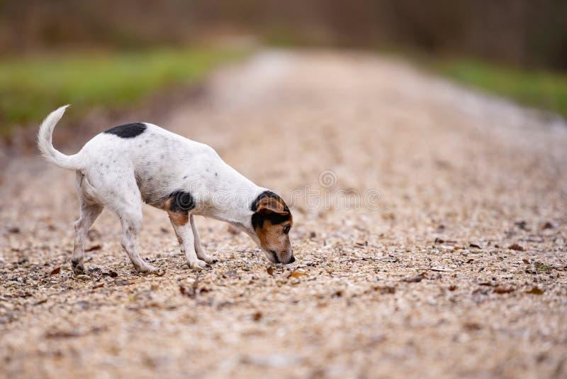 Den Jack Russell Terrier Cute hunden f?ljer en slinga arkivbild