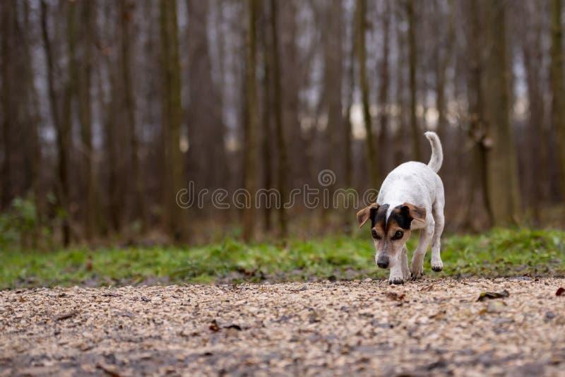Den Jack Russell Terrier Cute hunden f?ljer en slinga royaltyfria bilder